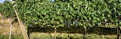 Agriculture - Vineyard Of Mature Syrah Poster by Charles Blakeslee