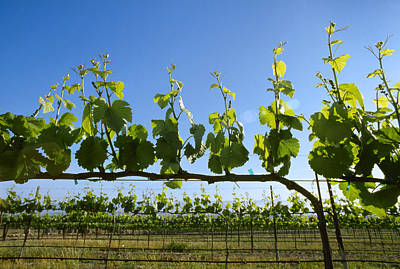 Agriculture - Wine Grape Vineyard Poster