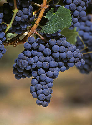 Agriculture - Wine Grapes, Merlot Poster by Jack Clark