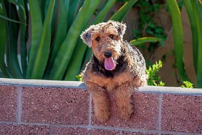 Airedale Coming Over A Wall Poster