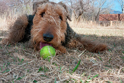 Airedale Playing Ball In Dried Grasses Poster