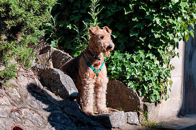 Airedale Sitting On Stone Steps (mr Poster