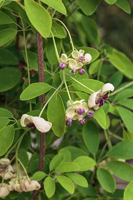 Akebia Quinata - Cream Flowered Poster
