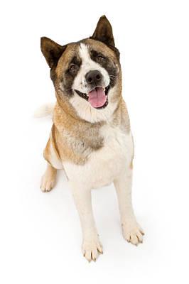 Akita Dog Sitting And Looking Forward Poster