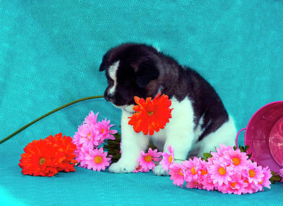 Akita Puppy With Flowers (mr & Pr Poster