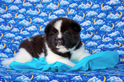 Akita Puppy With Moons And Stars (mr & Poster