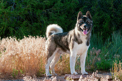 Akita Standing Near Dried Grasses Poster