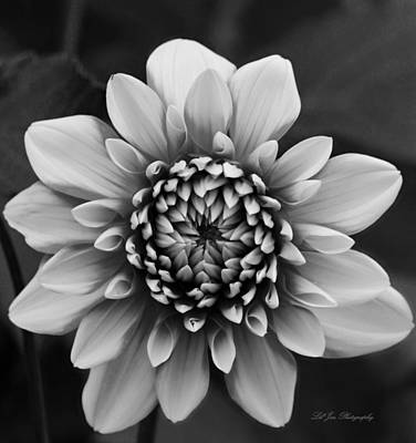 Ala Mode Dahlia In Black And White Poster
