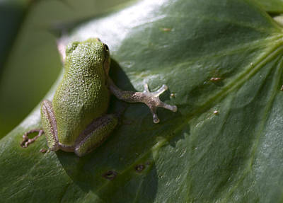 Alabama Pine Barrens Green Tree Frog - Hyla Andersonii Poster by Kathy Clark