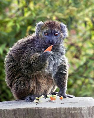 Alaotran Gentle Lemur Poster by Terri Waters