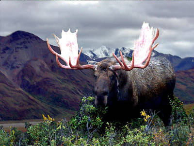 Alaska Bull Moose Poster