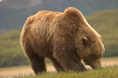 Alaska Kodiak Bear Poster