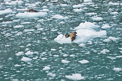 Alaska Seals Poster by Aimee L Maher Photography and Art Visit ALMGallerydotcom