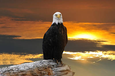 Alaskan Bald Eagle At Sunset Poster