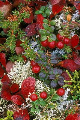 Alaskan Berries 2 Poster by Arterra Picture Library