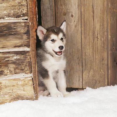 Alaskan Malamute Puppy Poster by John Daniels