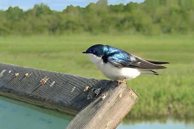 Alaskan Swallow Poster