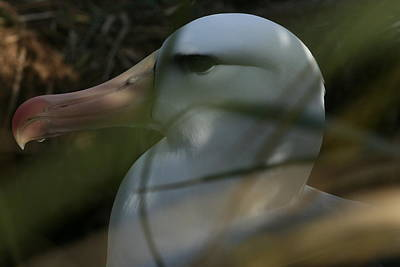 Poster featuring the photograph Albatross by Amanda Stadther