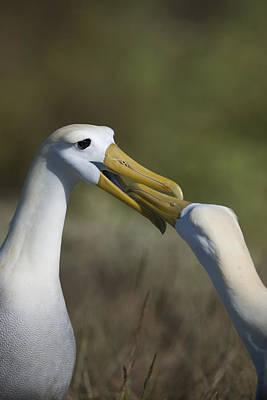 Albatross Courtship Poster