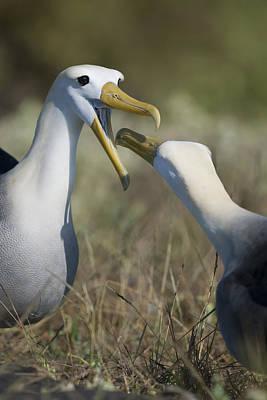 Albatross Perform Mating Ritual Poster
