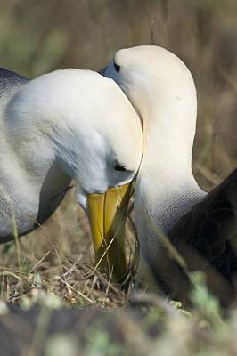 Albatrosses Snuggle Poster