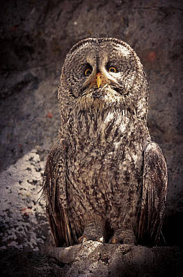 Alberta Great Gray Owl  Poster by Maria Angelica Maira
