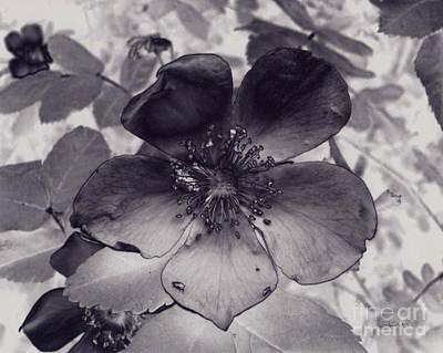 Alberta Wild Rose Poster by Tlynn Brentnall