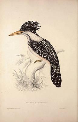 Alcedo Guttatus. Birds From The Himalaya Mountains Poster