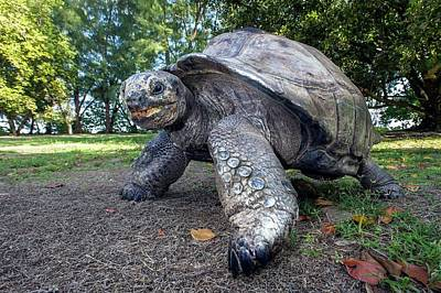 Aldabra Giant Tortoise Poster by Peter Chadwick