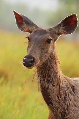 Alert Sambar Deer,corbett National Poster