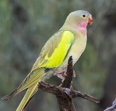 Alexandras Parrot Alice Springs Poster by D. Parer & E. Parer-Cook