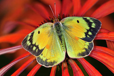 Alfalfa Butterfly On Cone Flower Poster