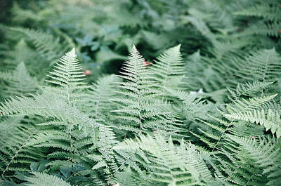 Poster featuring the photograph Algonquin Ferns by David Porteus