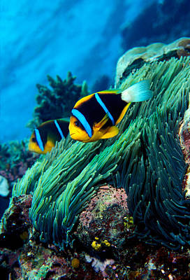 Allards Anemonefish Amphiprion Allardi Poster by Panoramic Images