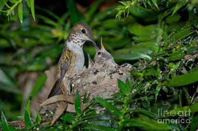 Allens Hummingbird Feeds Young Poster