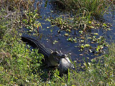 Alligator 020 Poster