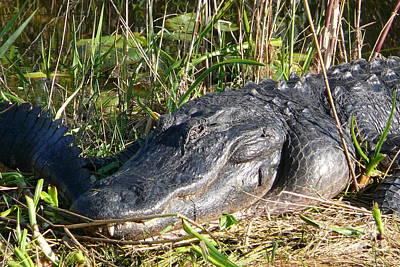 Alligator Poster by Amanda Mohler