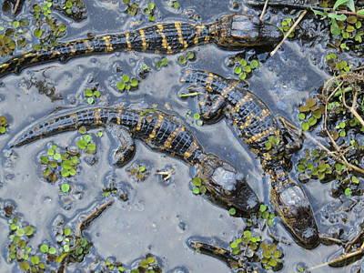 Alligator Babies IIi Poster by Zina Stromberg