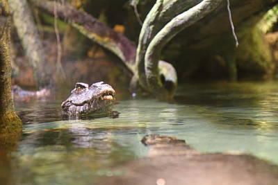 Alligator - National Aquarium In Baltimore Md - 12121 Poster