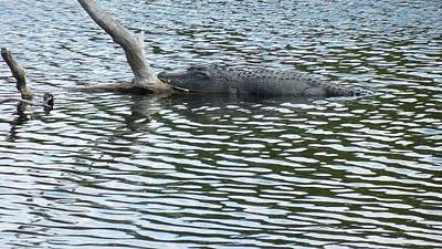 Poster featuring the photograph Alligator Resting On A Log by Ron Davidson