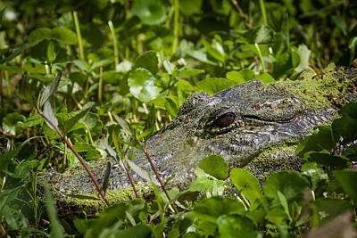 Poster featuring the photograph Alligator Taken At Brazos Bend by Zoe Ferrie