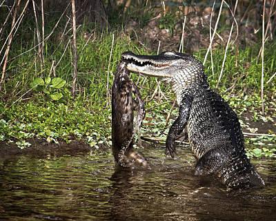 Alligator Vs Bobcat Poster