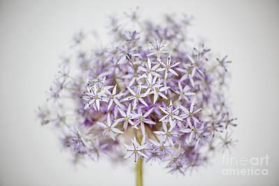 Allium Flower Poster by Elena Elisseeva