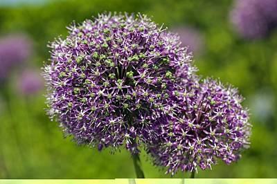 Allium Hollandicum 'purple Sensation' Poster