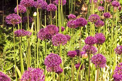 Allium Hollandicum Poster by Science Photo Library