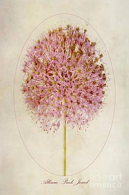 Allium Pink Jewel Poster by John Edwards