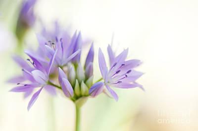 Allium Unifolium Eros Poster by Tim Gainey