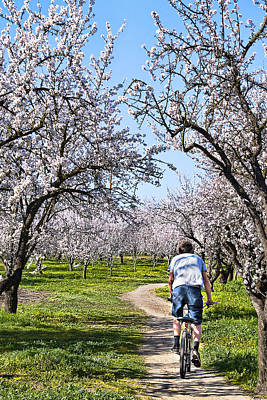 Almond Orchards In Full Bloom Poster