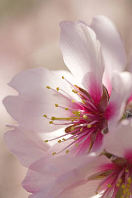 Almond (prunus Dulcis) Poster by Power And Syred
