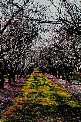 Almond Trees In Bloom Poster